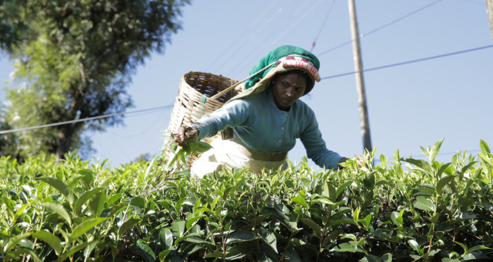 woman-tea-plantation-710