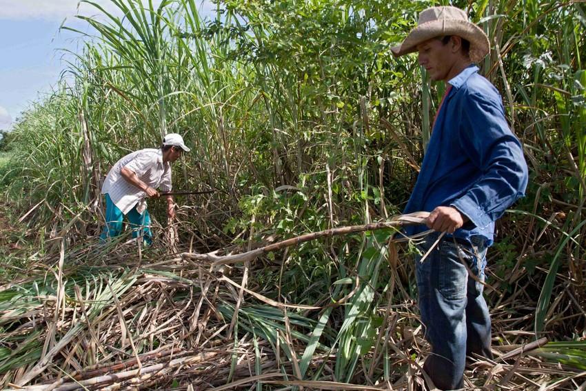 Spółdzielnia Manduvirá uzyskała certyfikat Fairtrade w styczniu 1999 roku. Niemal całość rocznej produkcji wynoszącej 4 tysiące ton cukru jest eksportowana na zasadach Fairtrade do odbiorców w 18 krajach.