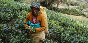 thiashola-tea-grower