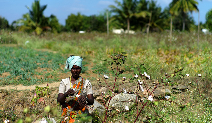 Uprawa bawełny, spółdzielnia AGROCEL w Indiach