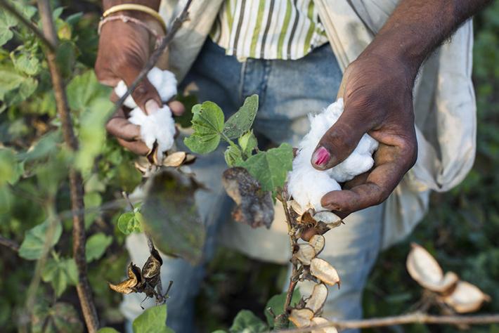 Uprawa bawełny - spółdzielnia Pratibha Cotton Farm