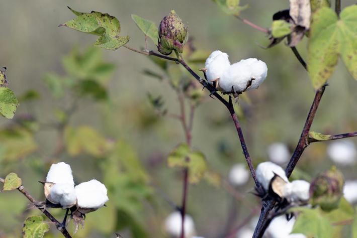 Krzak bawełny