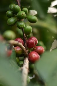22160scr-coffee-on-tree
