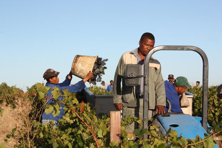 Spółdzielnia Stellenrust produkująca wino w RPA