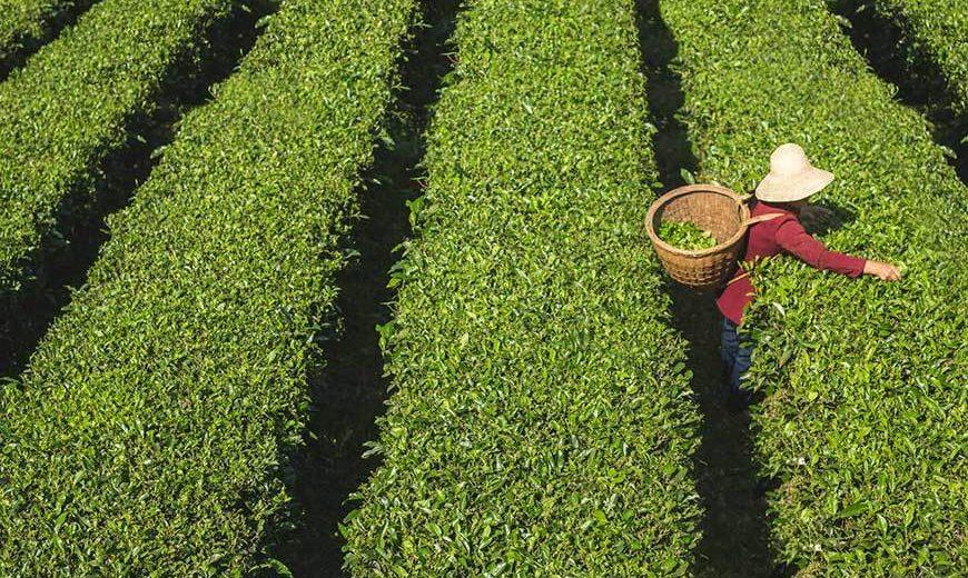 Rolniczka zrywająca herbatę. Spółdzielnia producentów herbaty Xuan En Yisheng, Chiny. Fot. © Philipp Benedikt